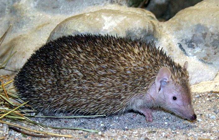 The average litter size of a Lesser hedgehog tenrec is 5
