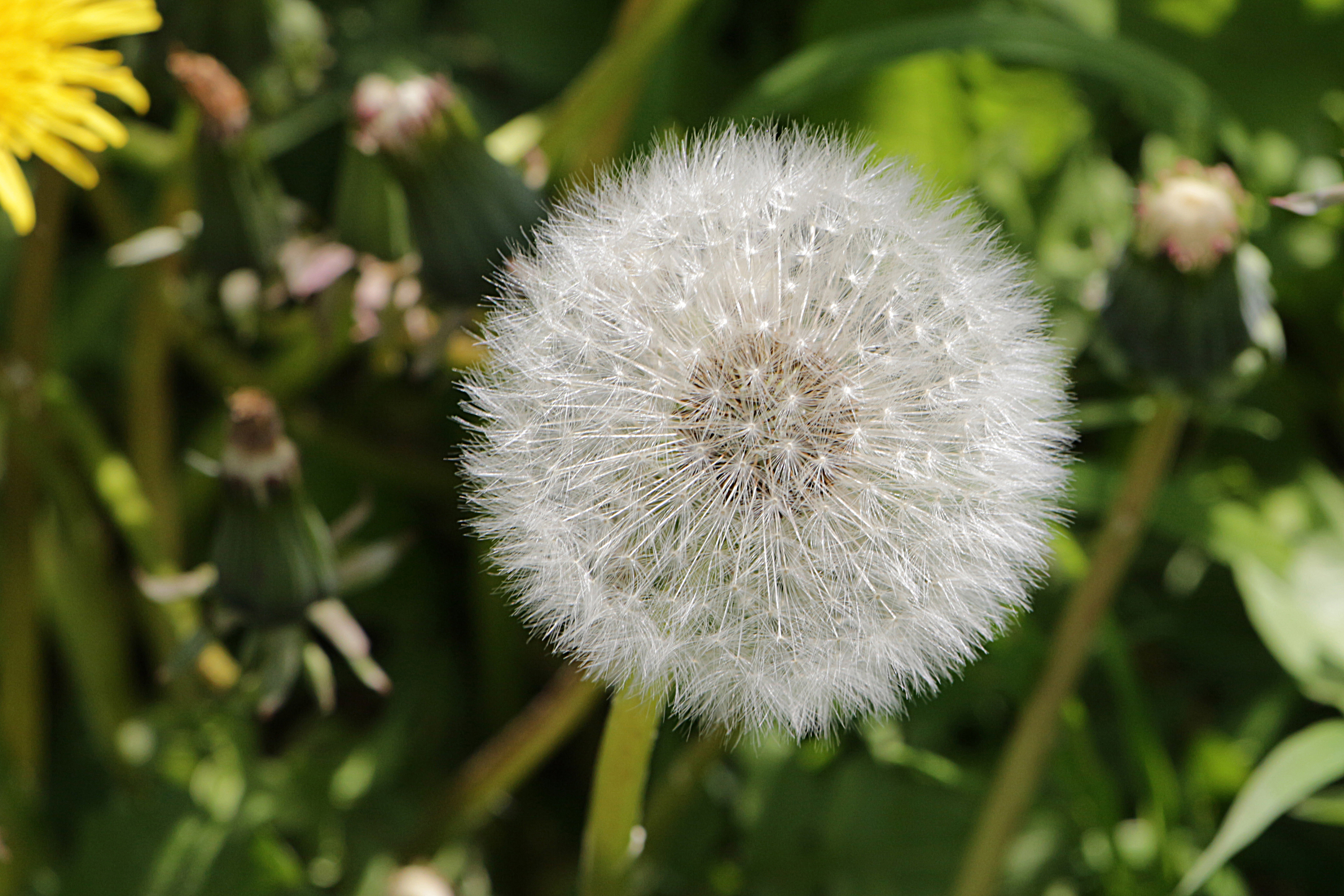 Aus der Butterblume ist eine Pusteblume geworden