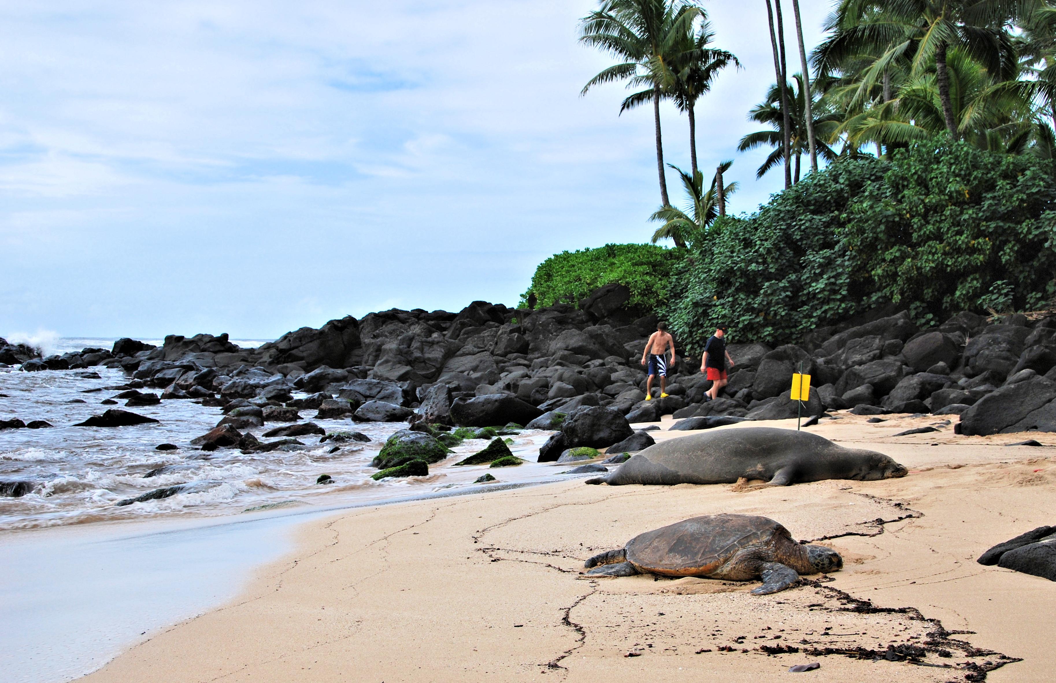 File:Laniakea Beach 04.jpg - Wikimedia Commons