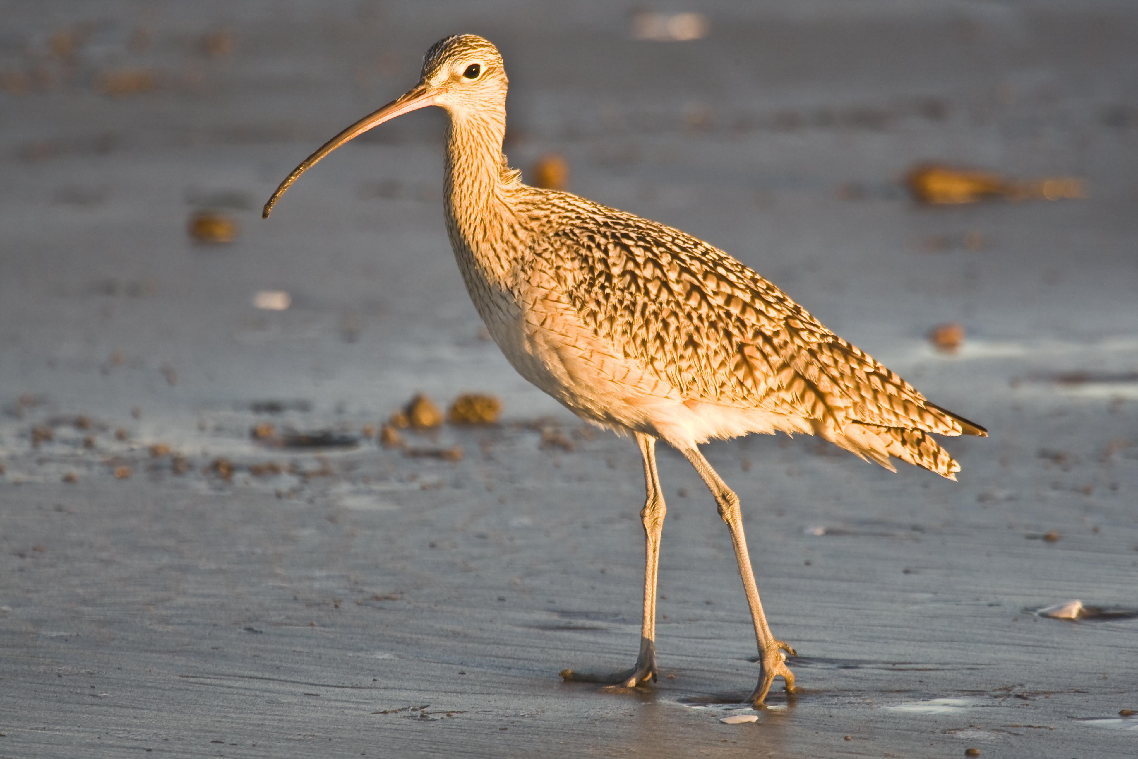 Morro Bay State Beach Sea Bird With Long Beak