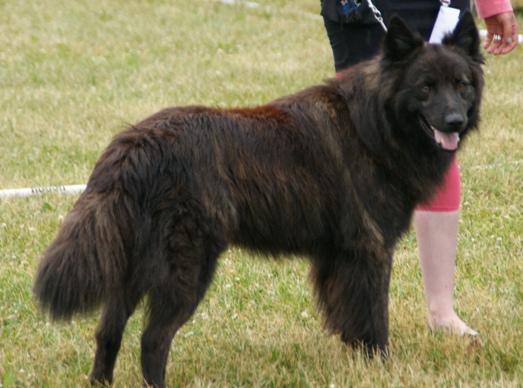 File Long Haired Dutch Shepherd 4 Jpg Wikimedia Commons