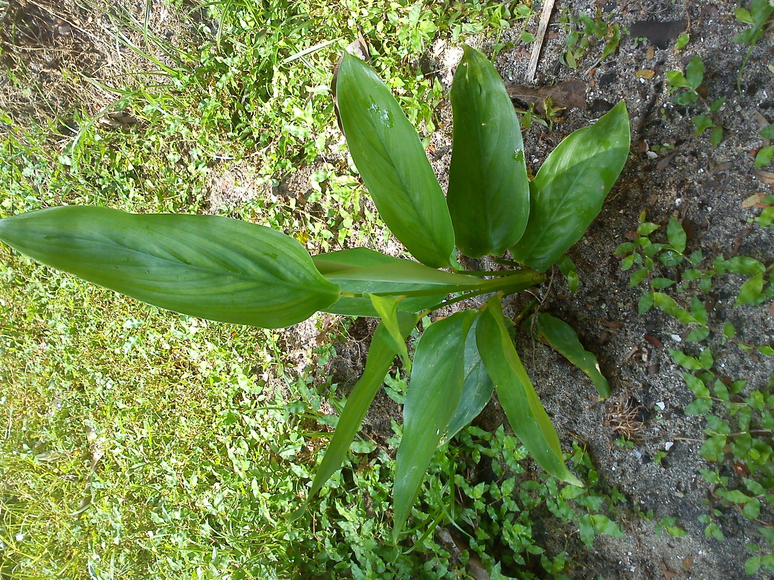 Maranta Arundinacea l File:maranta Arundinacea