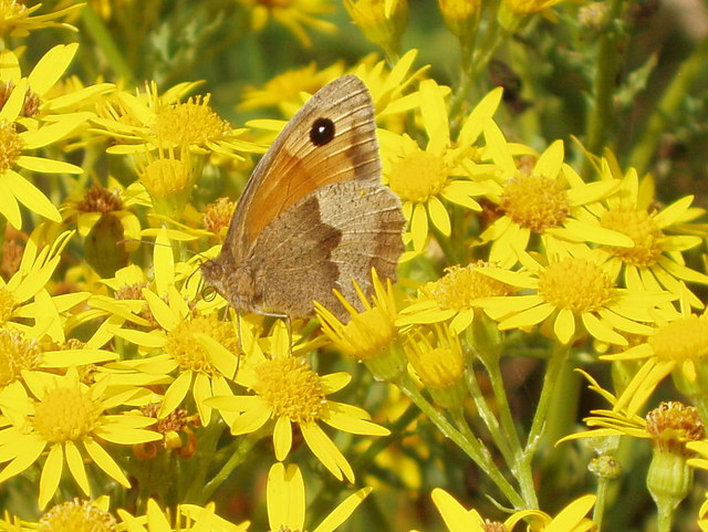 UK Native Butterflies in Decline Meadow Brown butterfly on Ragwort - geograph.org.uk - 913260