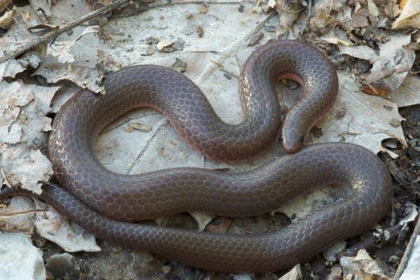File:Midwestern worm snake.jpg