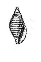 <i>Mitromorpha volva</i> Species of gastropod