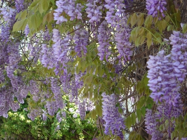The play Enchanted April features an Italian villa with lots of Wisteria