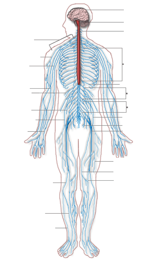 File:Nervous system diagram (dumb).png - Wikimedia Commons