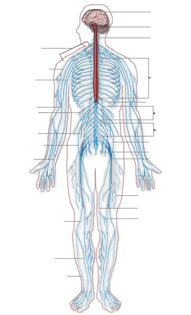 Filearterial Pressure Pointsg Wikimedia Commons