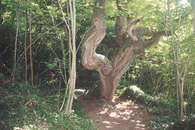 Old oak tree on the Landslip walk - geograph.org.uk - 320917