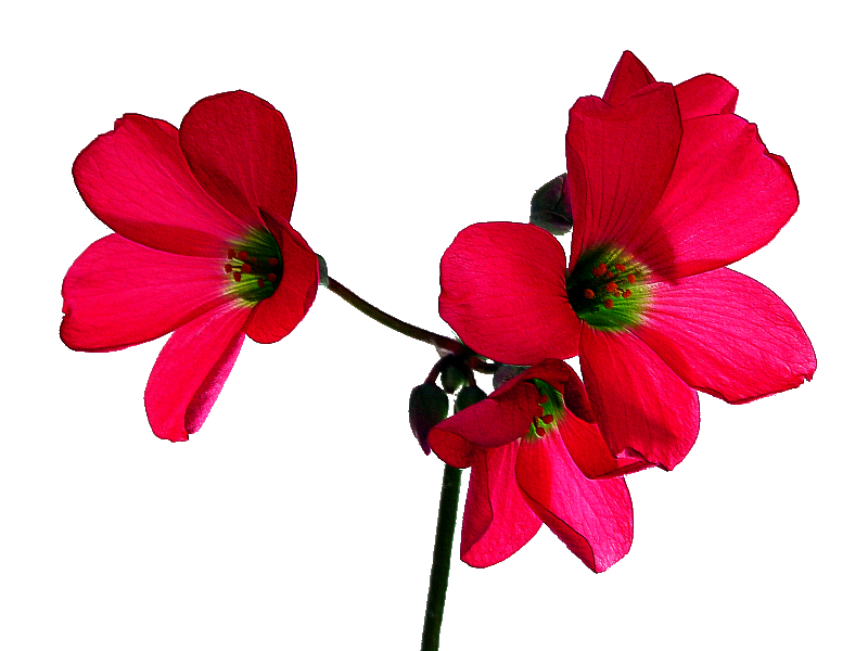 File:Oxalis tetraphylla Iron Cross20090521 07.png
