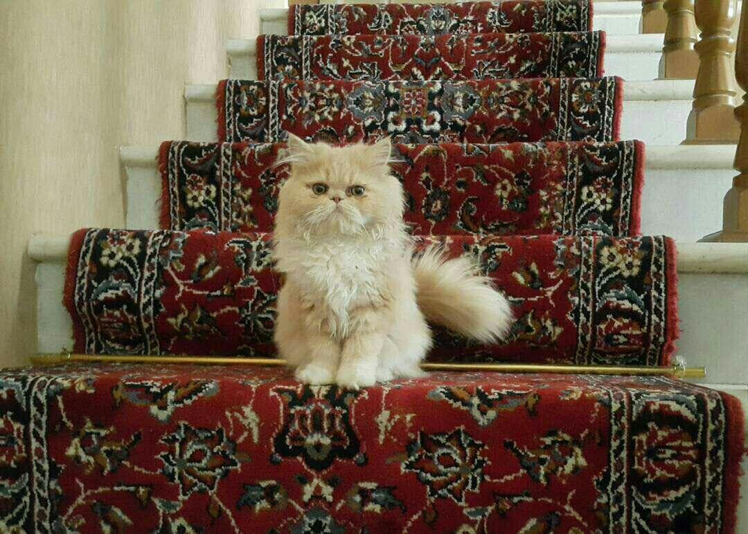 persian cat wikipedia