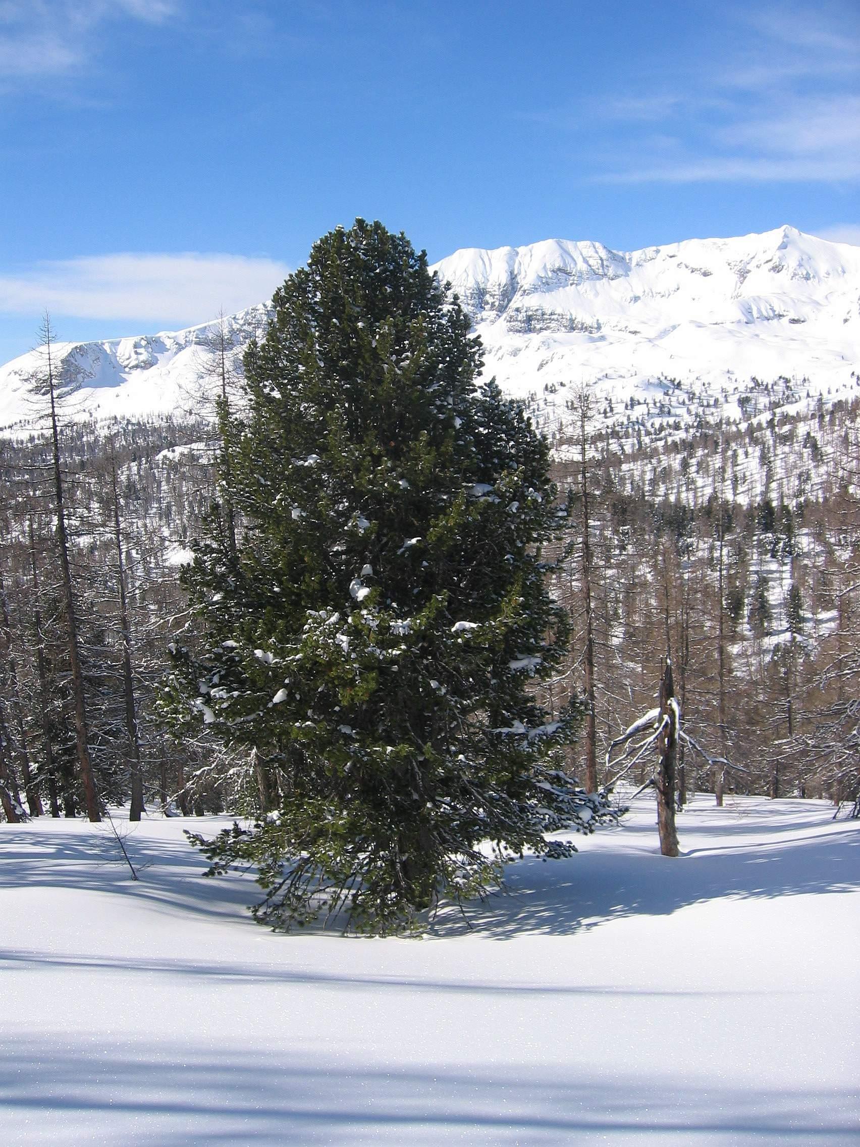 Zirbelkiefer im Winter im Verbund mit Lärchen - Bildrechte liegen beim Nutzer Tigerente auf www.wikipedia.org