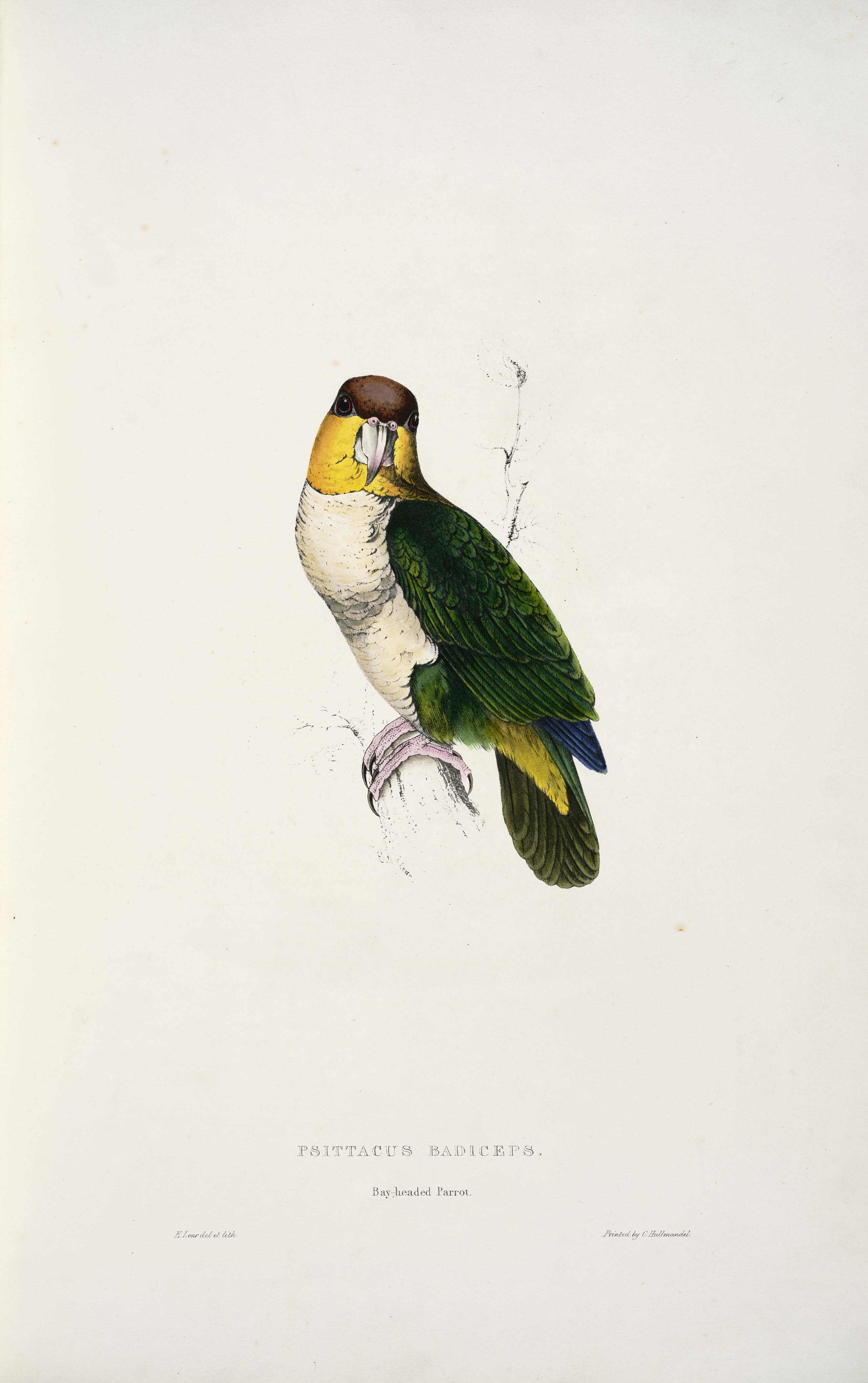 File:Pionites leucogaster -Psittacus badiceps Bay-headed parrot -by Edward  Lear 1812