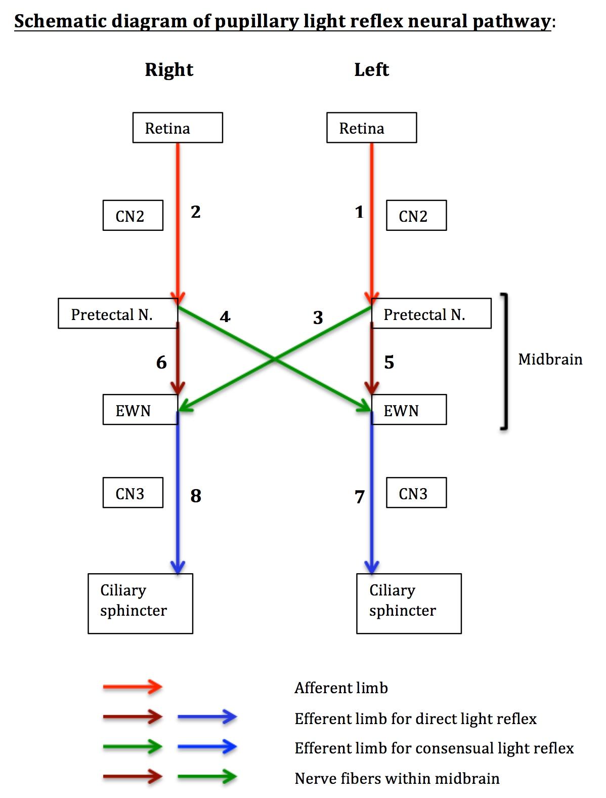 The Open Window Plot Diagram: PupillaryLightReflexNeuralPathway.jpg - Wikipedia,Chart