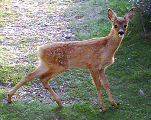 Differenza tra cervo e capriolo qual la differenza tra for Capriolo animale