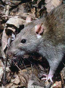 Rattus - Wikipedia