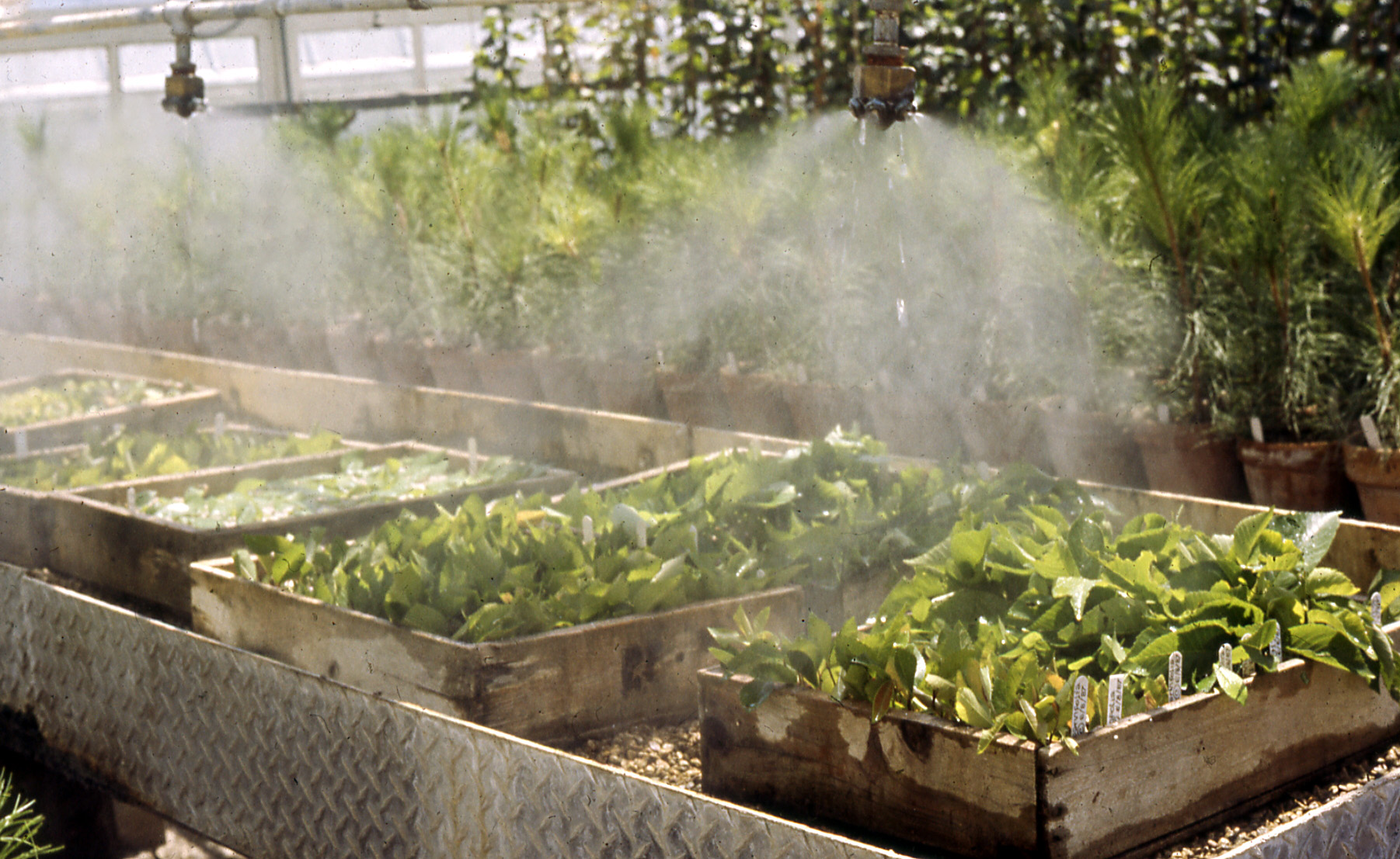 Propagation Misting Systems : File rooting of softwood cuttings elm under the mist