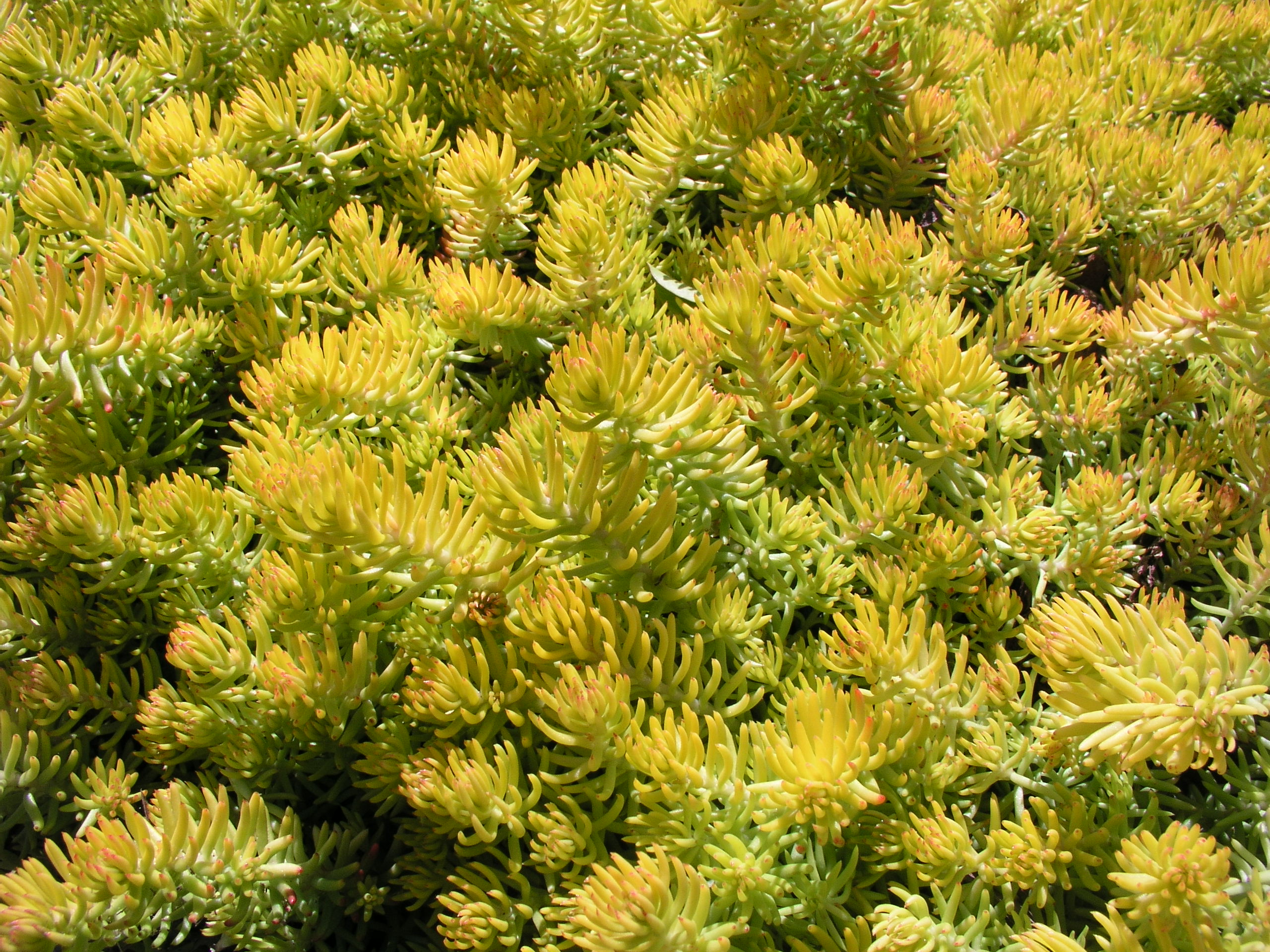 Sedum Ground Cover Home Depot