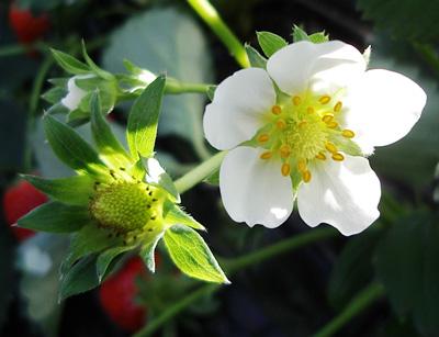 File:Strawberry flower.jpg - Wikipedia  Flower