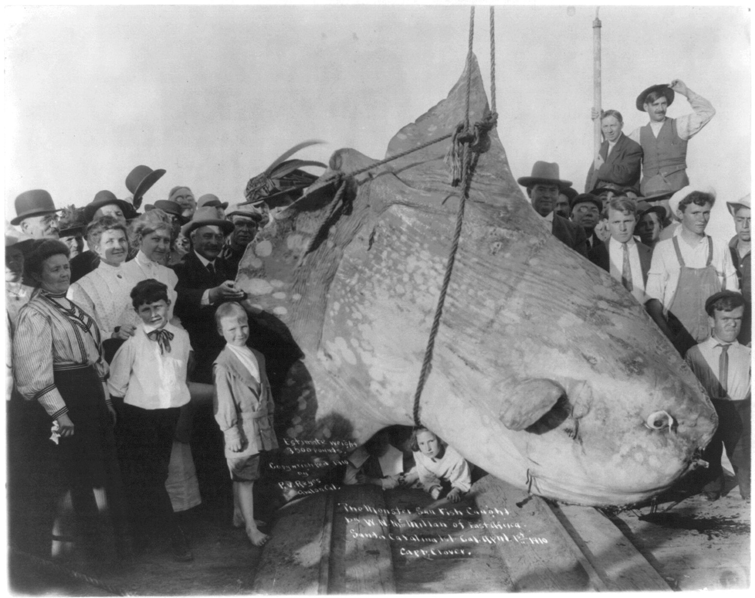 The monster sun fish caught by W.N. McMillan of E. Africa, at Santa Catalina Isl., Cal. April 1st, 1910. estimated wt. 3500 lbs. LCCN2006682592.jpg