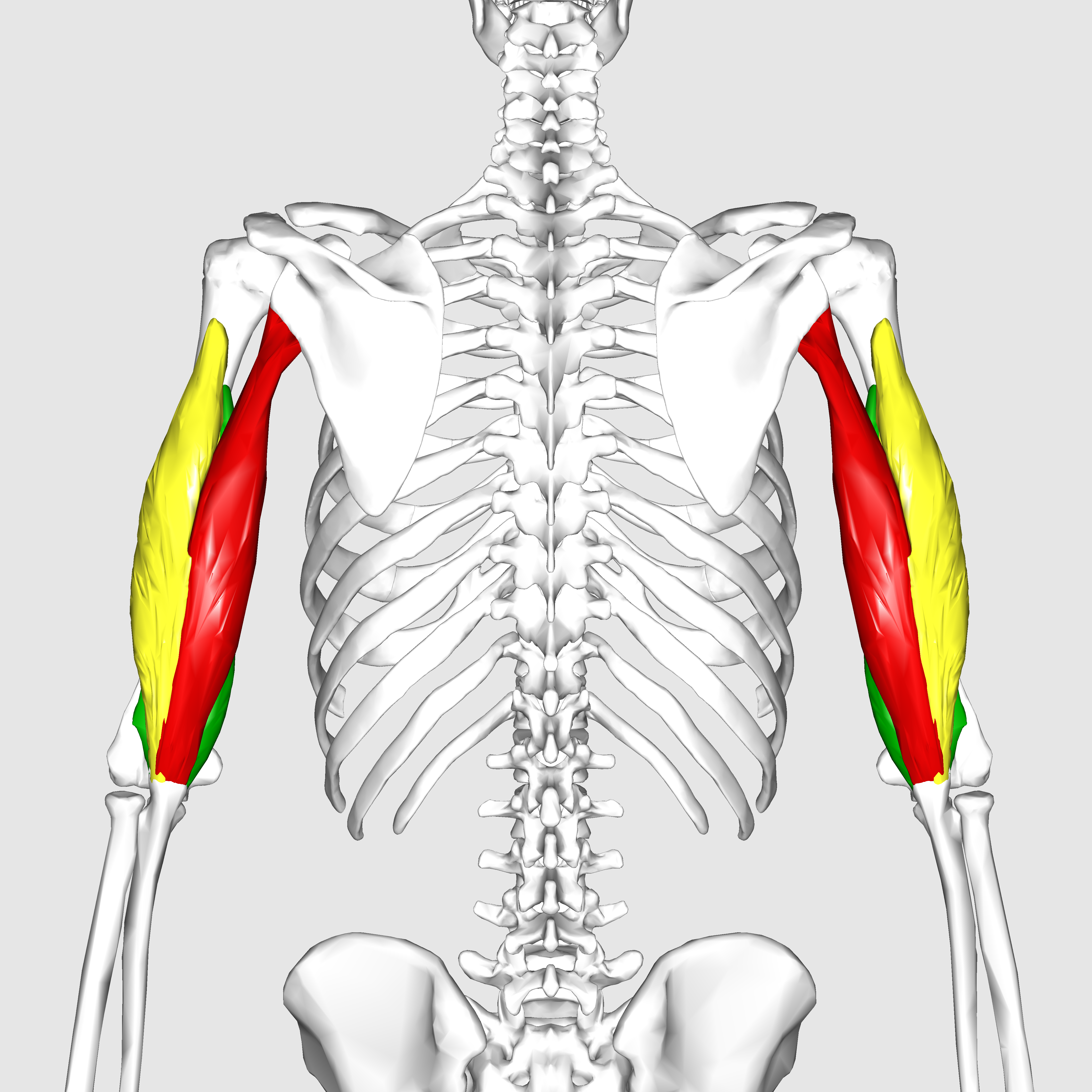 File:Triceps brachii muscle06.png - Wikimedia Commons