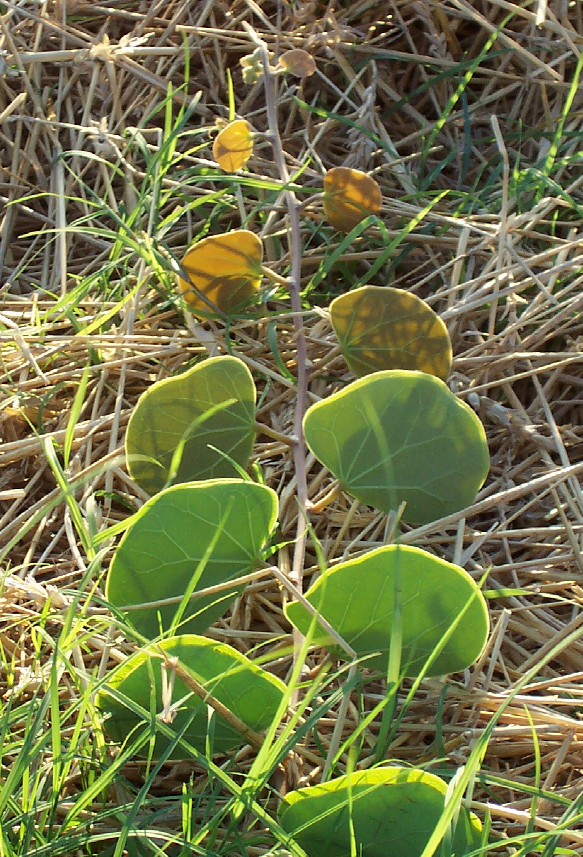 Marama, or Tylosema esculentum plant, prior to blooming. Image via Wikimedia Commons