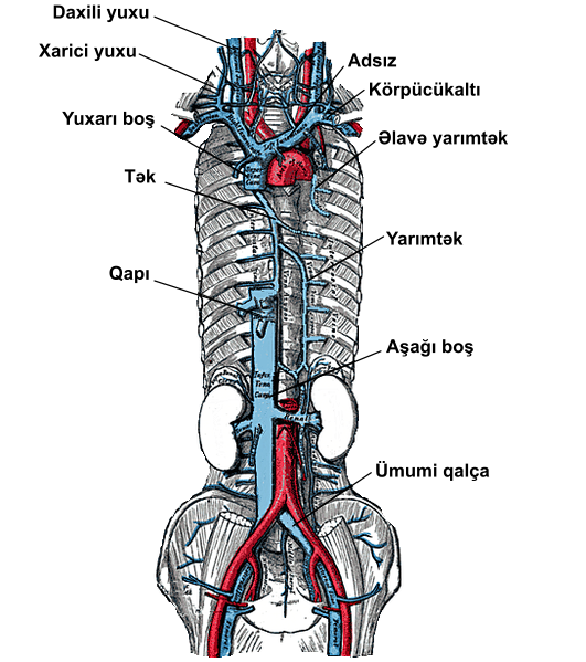 File:Venous system Azygos vein.png - Wikimedia Commons