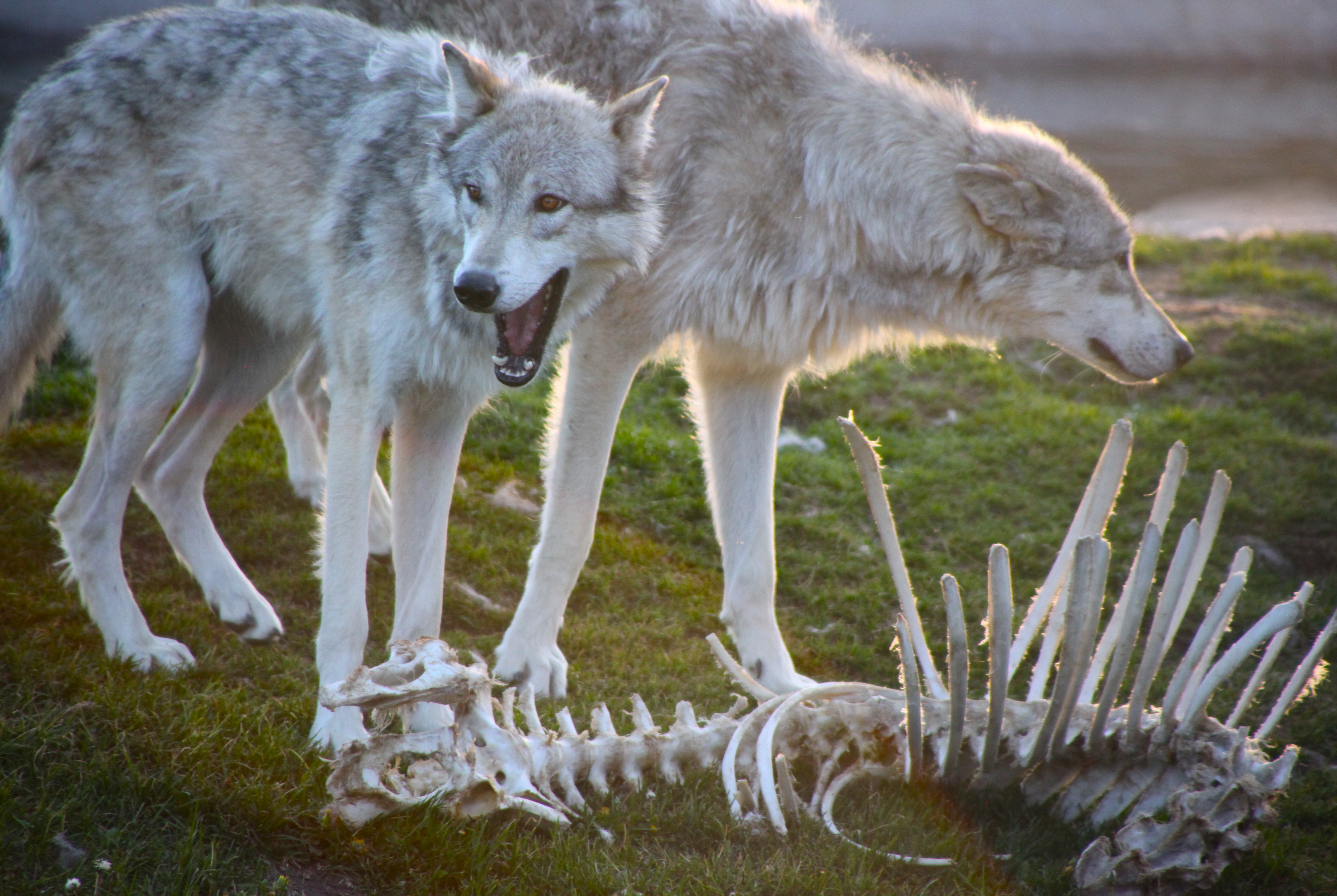 Description wolves and bones