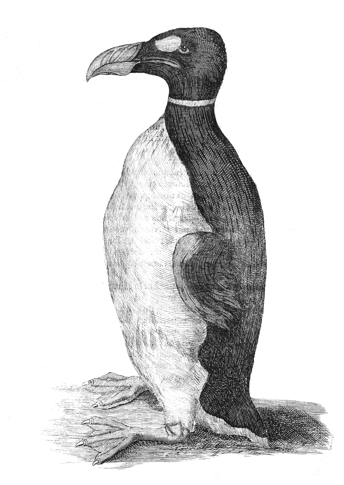 File:Wormius' Great Auk.jpg