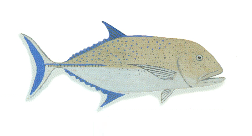 File:XRF-Caranx melampygus.png - Wikimedia Commons
