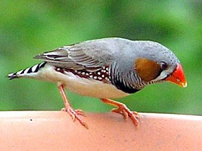 Description: Zebra Finch (Taeniopygia guttata)...