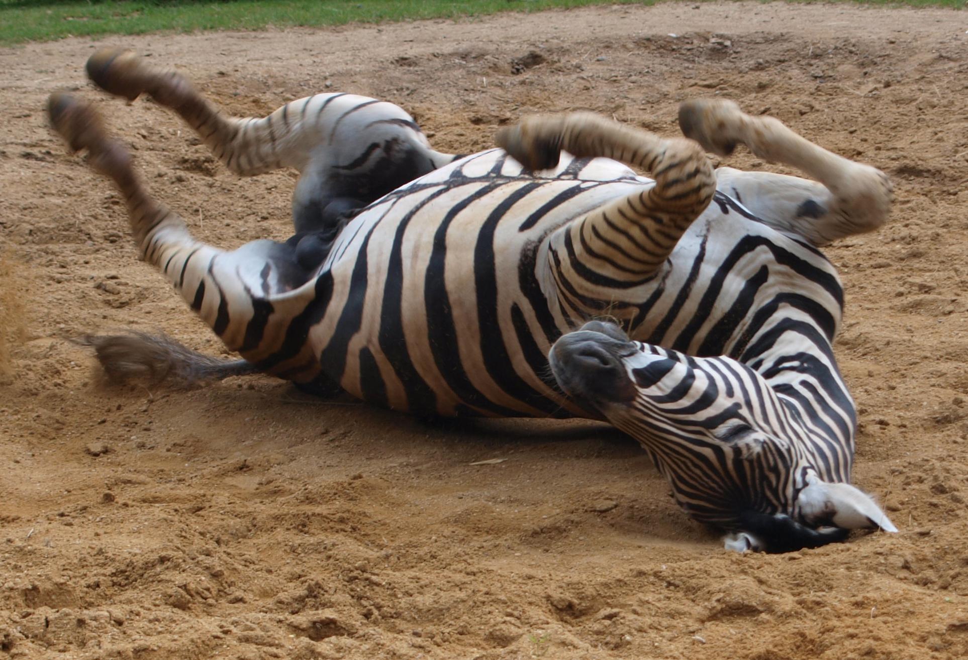 File:Zebra im Sand.jpg - Wikimedia Commons