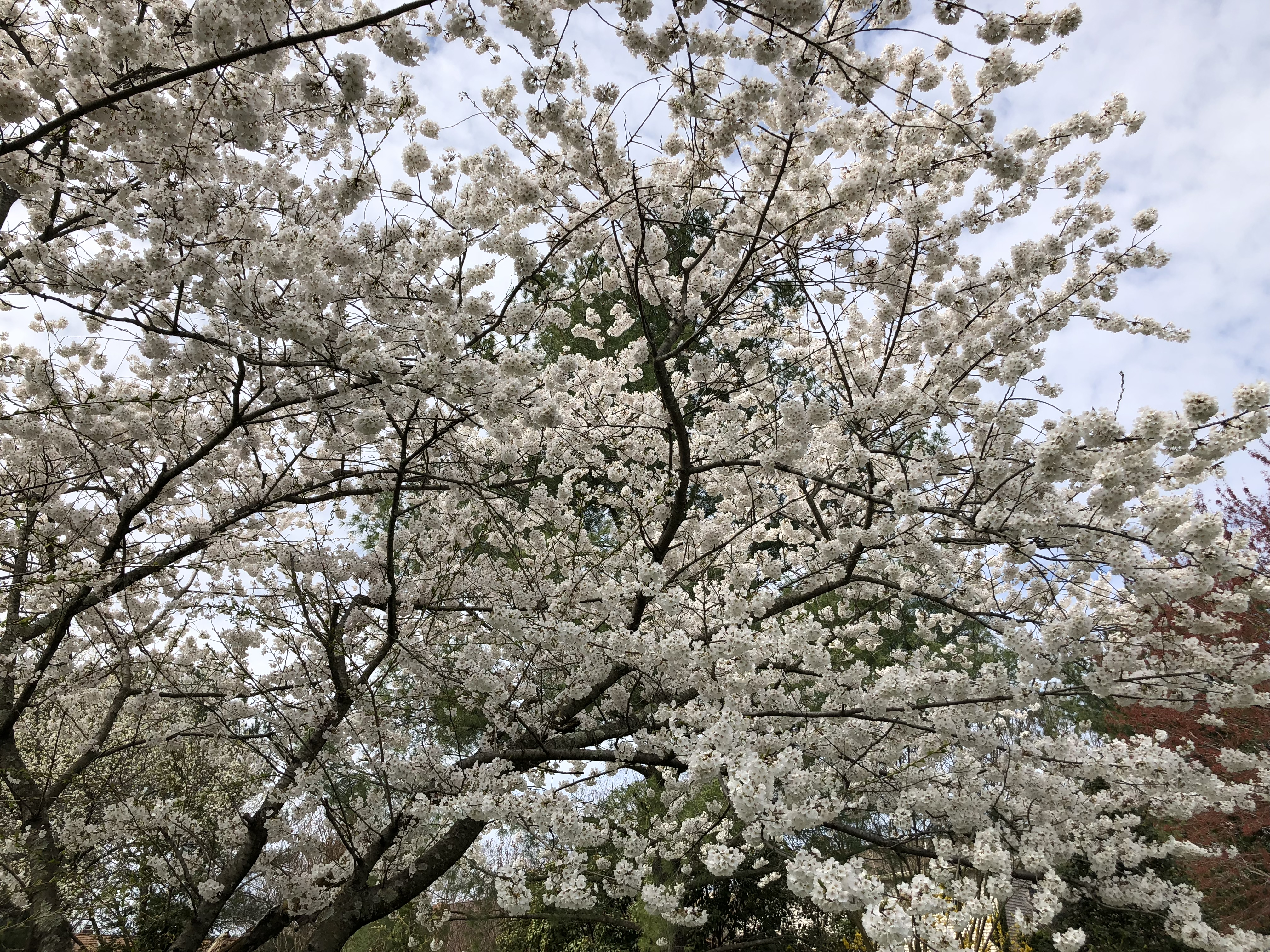 2019-04-06 13 01 07 White Flowering Cherry blossoms along Franklin Farm Road in the Franklin Farm section of Oak Hill, Fairfax County, Virginia.jpg