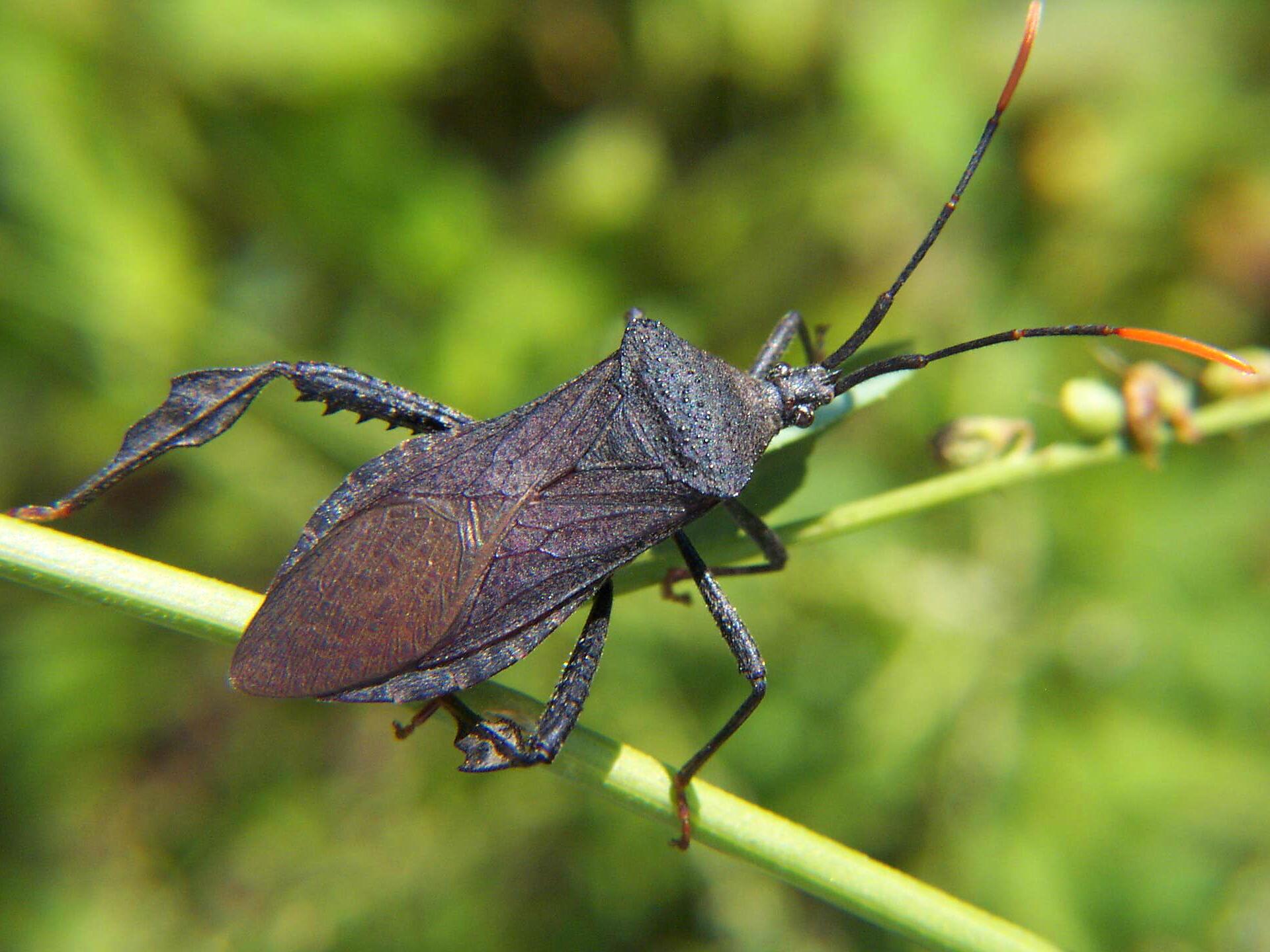 Acanthocephala Bug Wikipedia