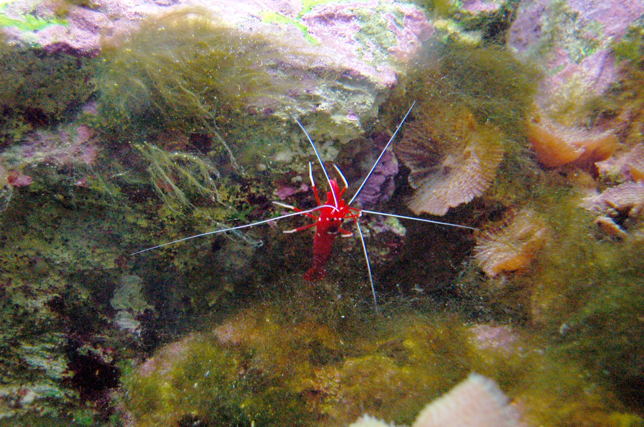 file aquarium tropical du palais de la porte dor 233 e lysmata debelius jpg wikimedia commons