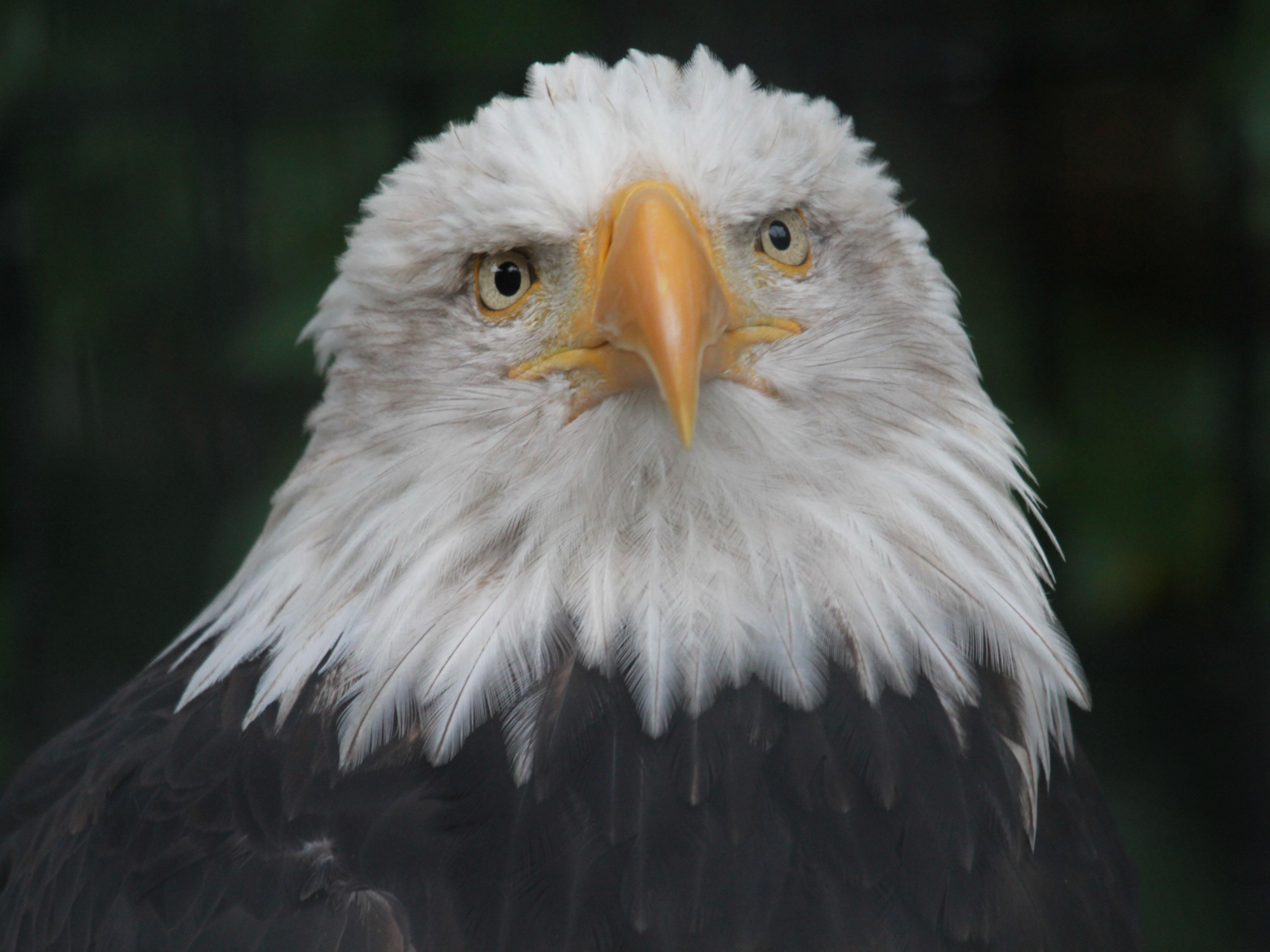 Bald eagle head front - photo#24