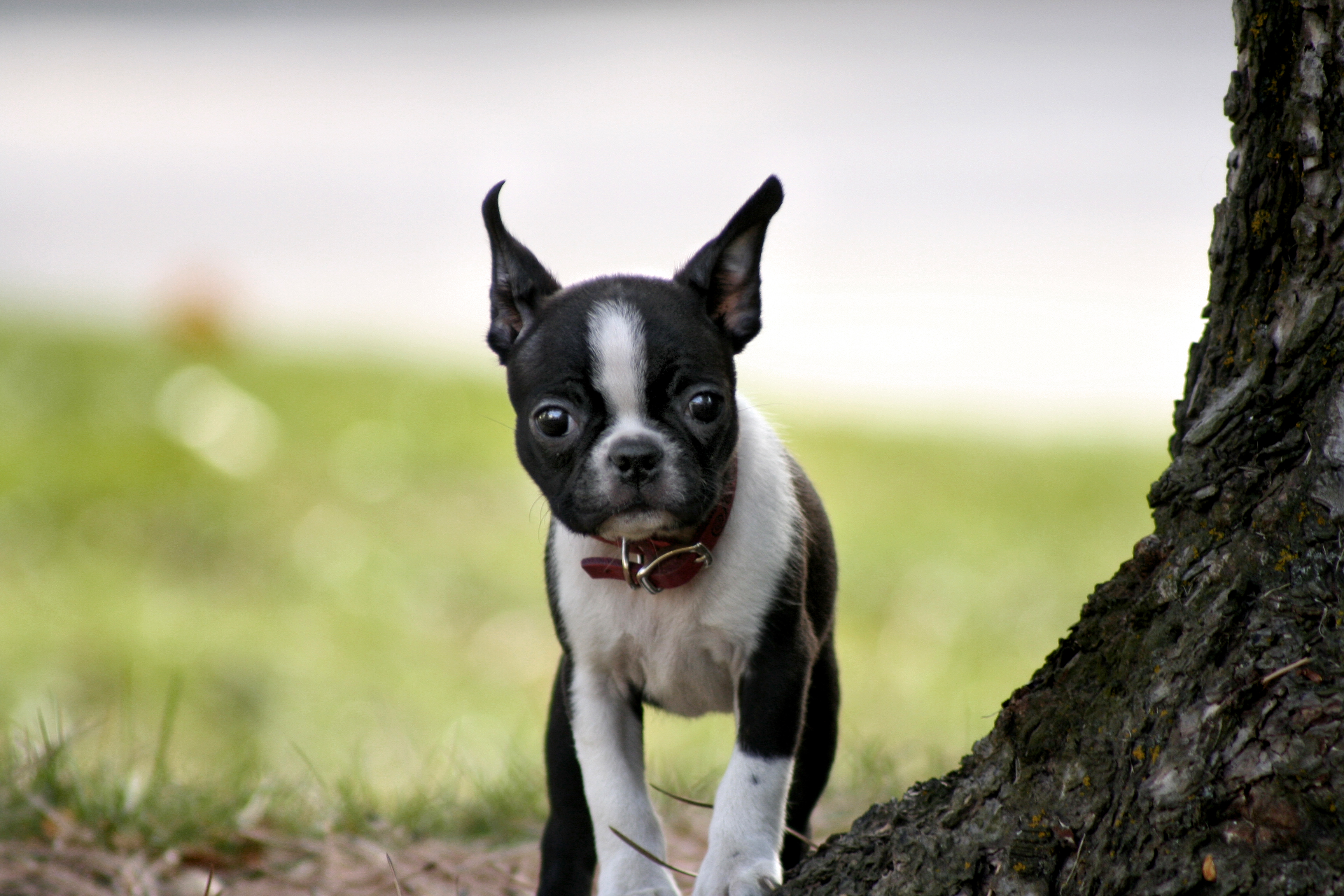 file bea boston terrier jpg wikimedia commons