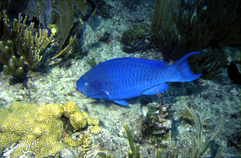 File blue parrotfish photographed in the florida keys for Blue fish florida