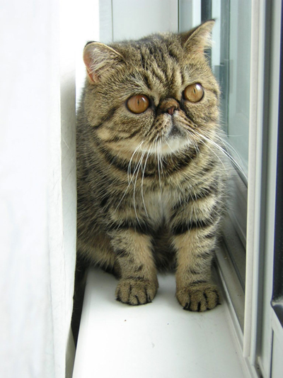 Exotic Shorthair Wikipedia
