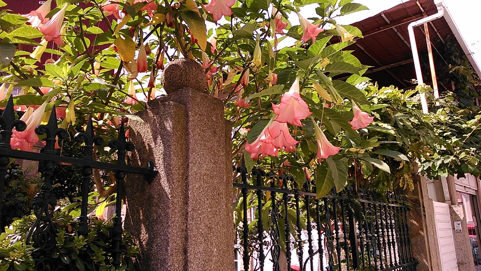 https://upload.wikimedia.org/wikipedia/commons/0/02/Brugmansia_suaveolens._Vigo.jpg