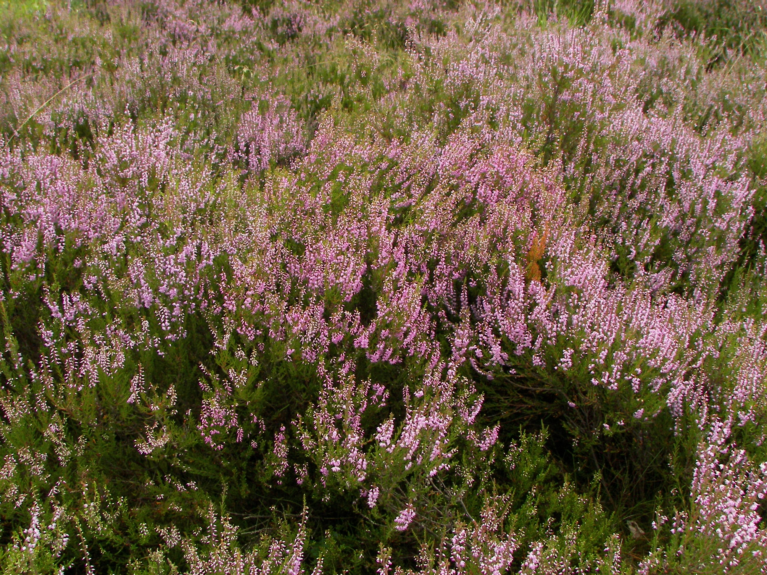 1000 images about calluna on pinterest heather o 39 rourke for Calluna vulgaris