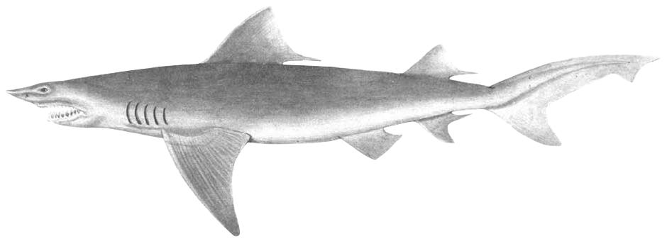 Flusshaie - Wikipedia