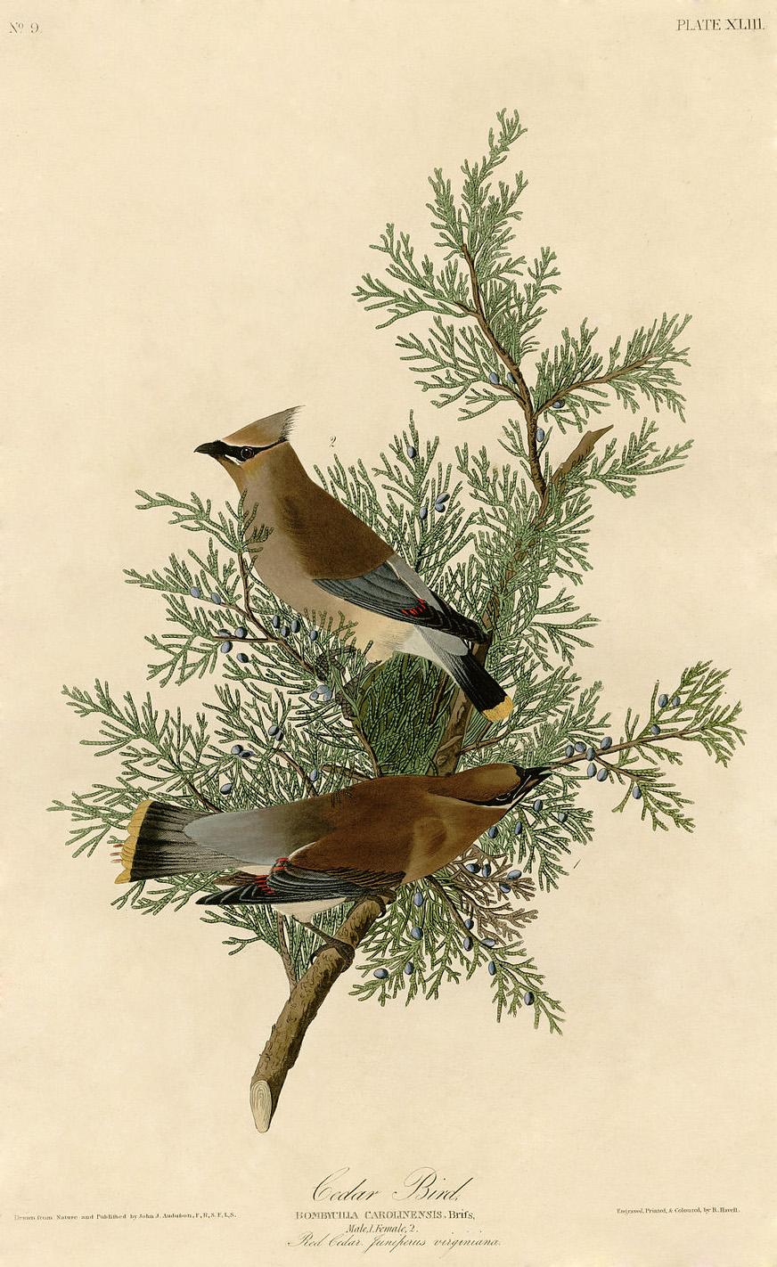 Cedar Bird, par Aududon