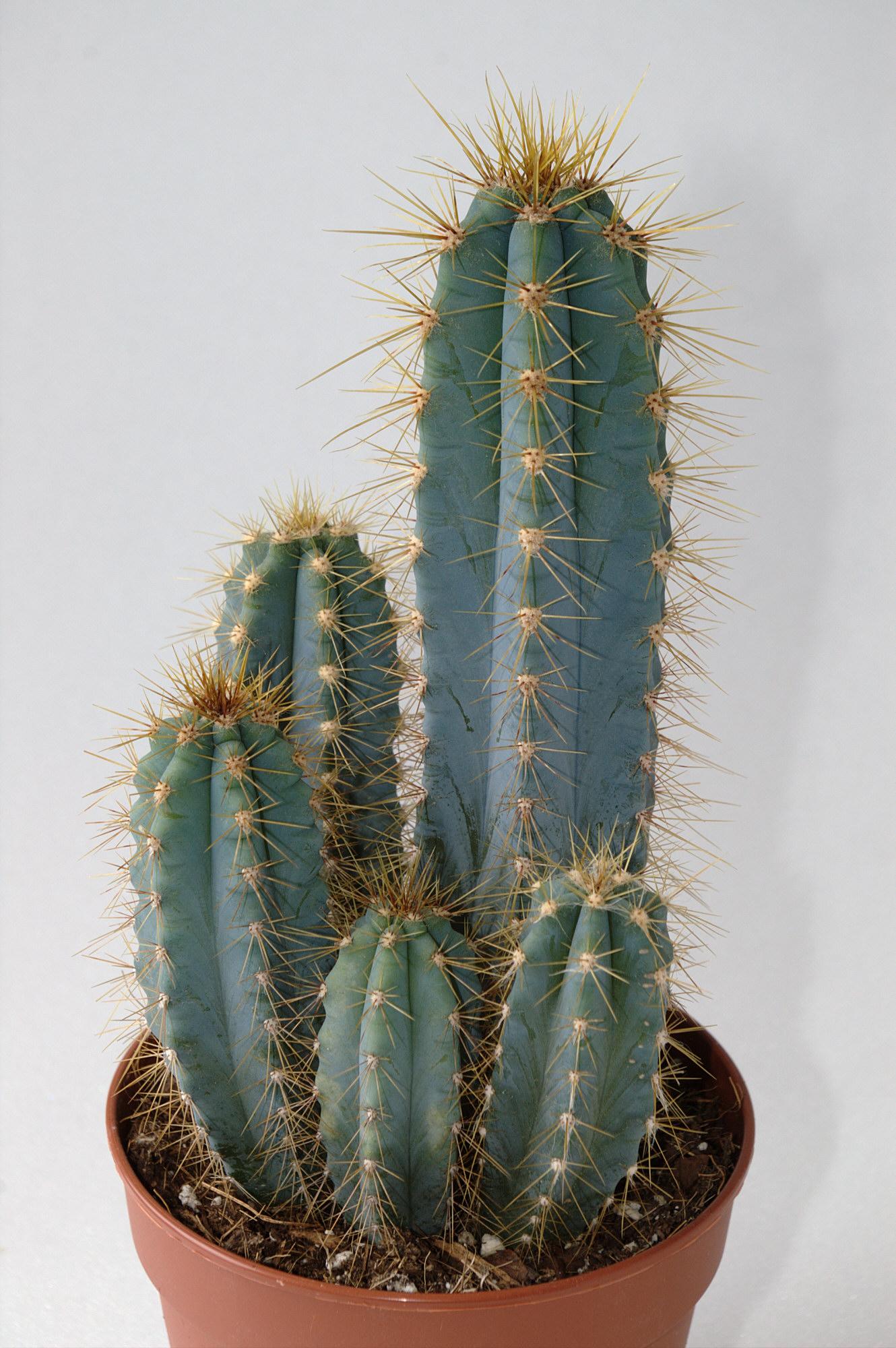 File cereus imgp0534 tabletop demo slow sync - Cactus de interior ...