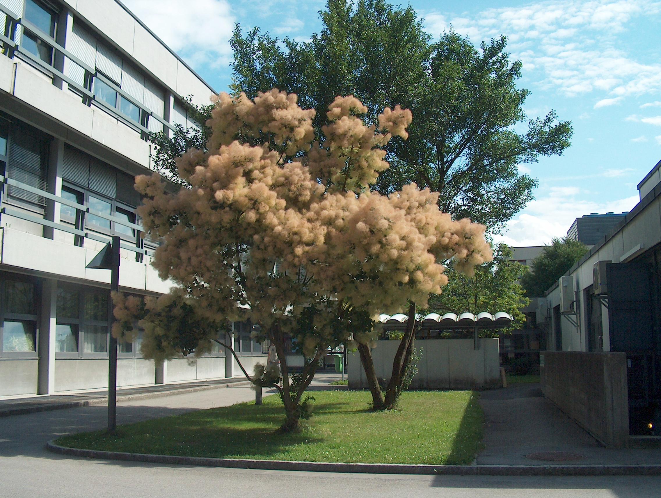 houppier et floraison du cotinus