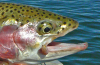 Rainbow trout that was caught before and relea...