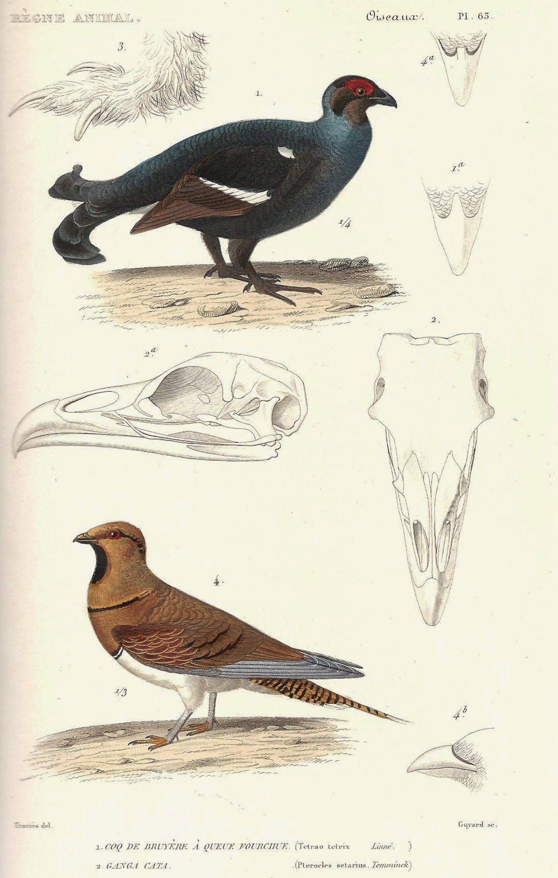 georges cuvier plate from le ratildeumlgne animal 1828 edition