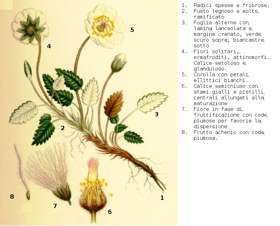 Fiore Giallo 6 Petali.File Dryas Octopetala Lindman Desc Jpg Wikimedia Commons