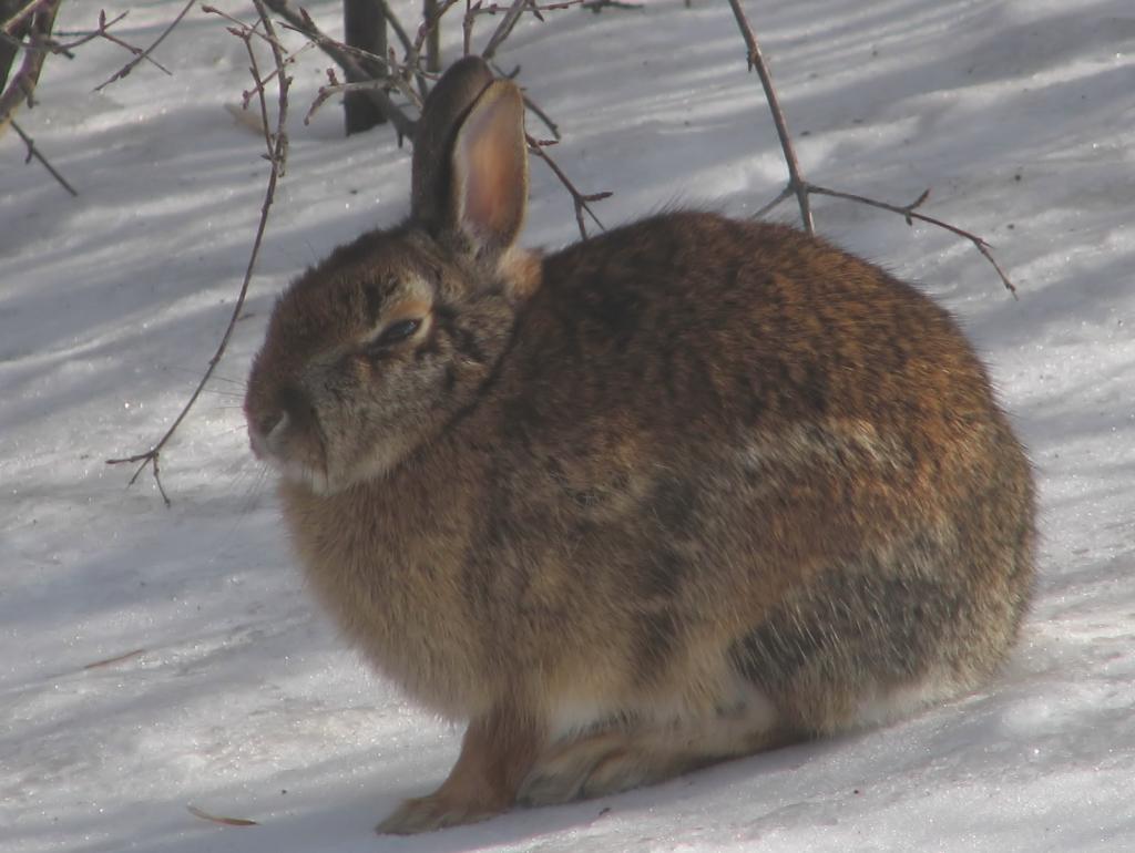 Eastern_Cottontail_rabbit,_Rideau_River.