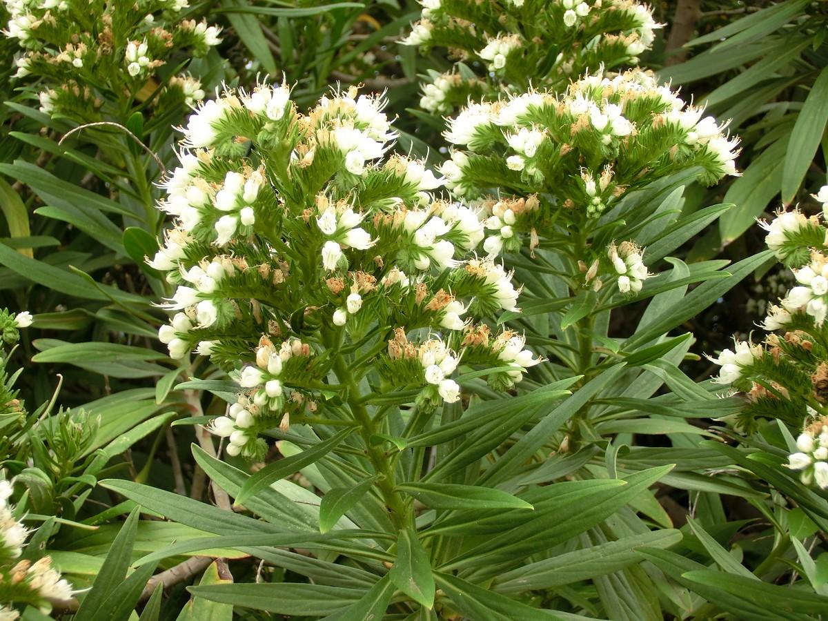 Resultado de imagen de Echium giganteum